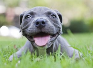 smiling-pitbull-puppy-in-grass
